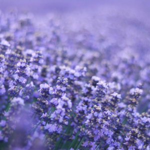 FEATURED INGREDIENT LAVENDAR-1